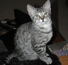 Abyssinian Bengal Mix Cat